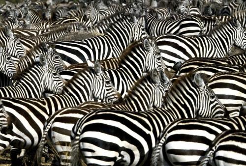 colonie-zebres.jpg